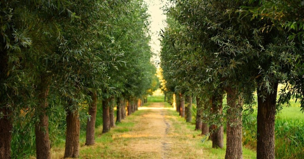 A road lined by rows of trees
