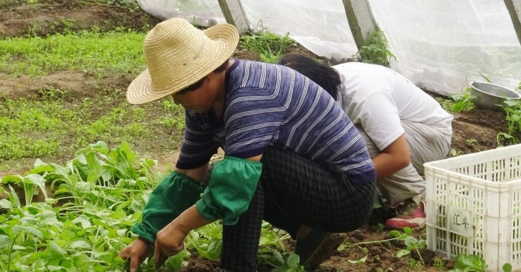 Farm workers working in a greenhouse