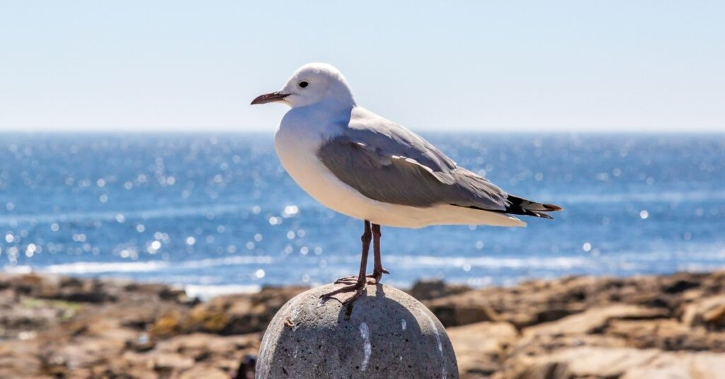 A seagull standing on a rock